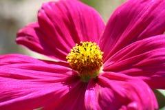 Abeja polinizada en la flor de color morado oscuro del cosmos Fotos de archivo