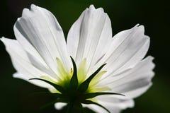 Abeja polinizada en la flor de color morado oscuro del cosmos Fotos de archivo libres de regalías