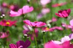 Abeja polinizada en la flor de color morado oscuro del cosmos Imagenes de archivo