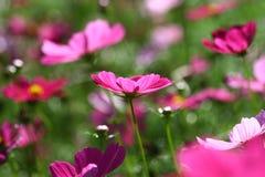 Abeja polinizada en la flor de color morado oscuro del cosmos Fotografía de archivo libre de regalías