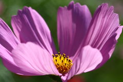 Abeja polinizada en la flor de color morado oscuro del cosmos Imagen de archivo
