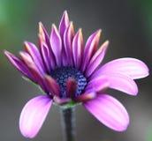 Abeja polinizada en la flor de color morado oscuro del cosmos Foto de archivo