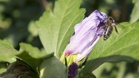 Abeja pollenating Fotografía de archivo libre de regalías