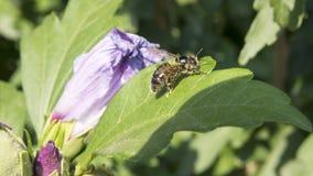 Abeja pollenating Fotos de archivo