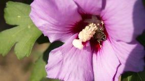 Abeja pollenating Foto de archivo