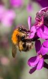 Abeja pollenating Imagenes de archivo