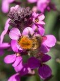 Abeja pollenating Foto de archivo libre de regalías