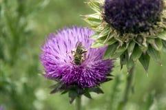 Abeja pollenating una flor del cardo Imagen de archivo libre de regalías