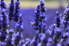 Abeja: pollinisation en un campo del lavande, Provence Foto de archivo libre de regalías