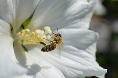 Abeja por completo del polen Imagen de archivo libre de regalías