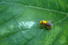 Abeja por completo del polen Fotos de archivo