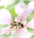Abeja por completo del polen en una flor del malva Imagenes de archivo