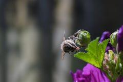 Abeja por completo del polen esférico blanco lechoso que alimenta en la flor imágenes de archivo libres de regalías