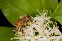 Abeja por completo del polen que recoge el néctar Imágenes de archivo libres de regalías