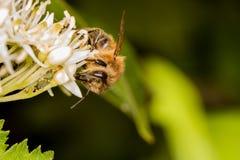 Abeja por completo del polen que recoge el néctar Fotos de archivo libres de regalías