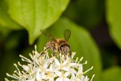 Abeja por completo del polen que recoge el néctar Foto de archivo