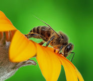 Abeja stock photo