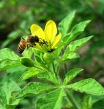 Abeja que alimenta en una flor salvaje Imagen de archivo