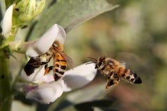 Abeja que asoma hacia otra abeja que chupa el néctar Fotografía de archivo libre de regalías