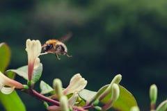 Abeja que asoma sobre la flor Imagen de archivo
