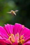 Abeja que asoma sobre la flor rosada Fotos de archivo libres de regalías
