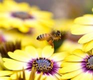Abeja que asoma sobre las flores llenadas polen colorido Imagen de archivo