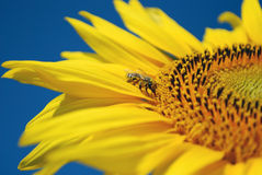 Abeja que aspira el néctar Imágenes de archivo libres de regalías