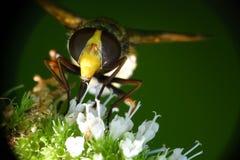 Abeja que aspira el néctar Imagen de archivo libre de regalías