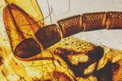 Abeja que aspira el tubo del néctar Imagen de archivo
