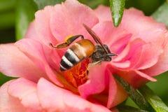 Abeja que busca el néctar Foto de archivo libre de regalías