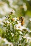 Abeja que busca el néctar Imagenes de archivo