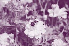Abeja que busca el néctar en polen en flores amarillas, en el jardín Fotos de archivo libres de regalías