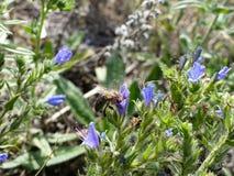 Abeja que busca el néctar en una flor Foto de archivo libre de regalías