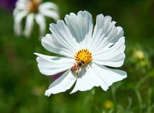 Abeja que busca el polen Fotos de archivo libres de regalías