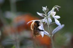 Abeja que busca el polen Fotos de archivo