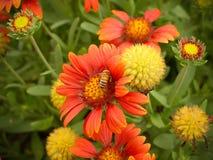 Abeja que busca el polen en flor Fotos de archivo