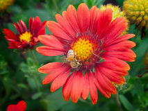 Abeja que busca el polen en flor Fotografía de archivo