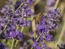 Abeja que busca el polen en una flor de la lavanda Imagen de archivo libre de regalías
