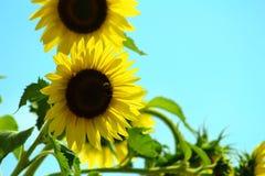 Abeja que busca el sol Foto de archivo libre de regalías