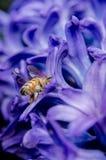 Abeja que busca para el néctar en jacinto Fotos de archivo