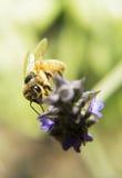 Abeja que cava en una flor Foto de archivo libre de regalías