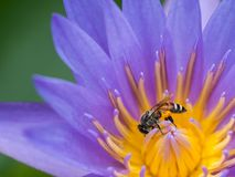 Abeja que chupa de Lotus púrpura Imagen de archivo libre de regalías