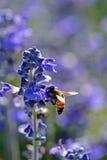 Abeja que chupa el néctar de flores Fotografía de archivo