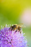 Abeja que chupa el néctar de la flor del scabiosa en un sprin Imágenes de archivo libres de regalías