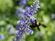 Abeja que chupa el néctar de una flor Foto de archivo