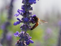 Abeja que chupa el néctar de una flor Fotografía de archivo