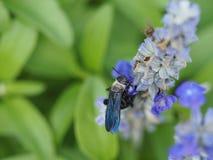 Abeja que chupa el néctar de una flor Imágenes de archivo libres de regalías