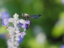 Abeja que chupa el néctar de una flor Imagen de archivo libre de regalías