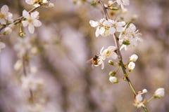 Abeja que chupa el néctar de una flor del árbol de ciruelo Imágenes de archivo libres de regalías