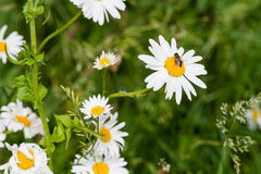 Abeja que chupa el néctar de una margarita de ojo de buey floreciente Imagen de archivo libre de regalías